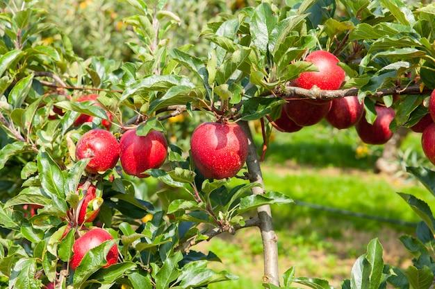 Manzanos cargados de manzanas en un huerto en verano