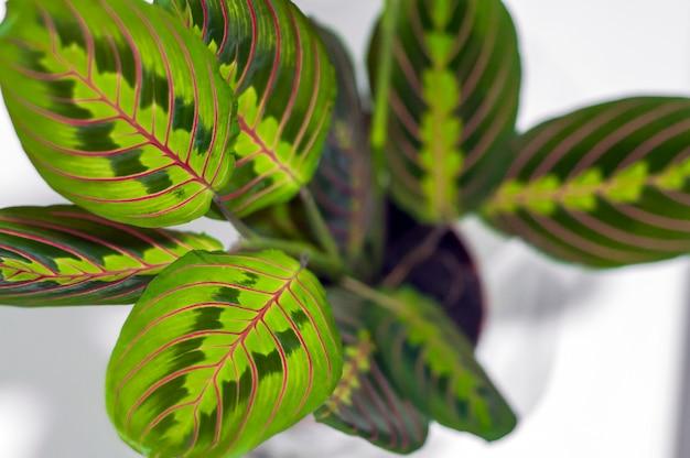 Maranta tricolor aisladas sobre fondo blanco. planta, hojas, primer plano. hermosa casa deja la planta aislada sobre fondo blanco