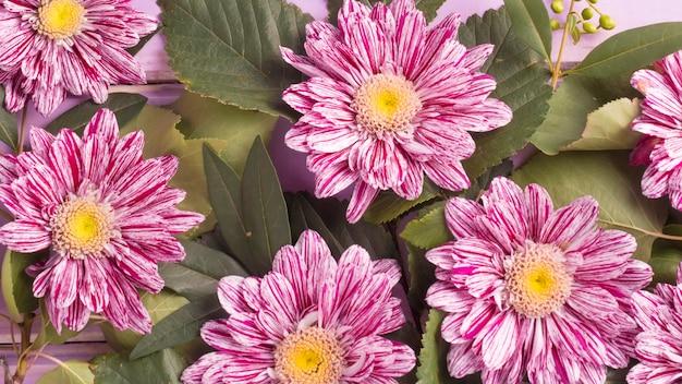 Marco completo de flores de crisantemo