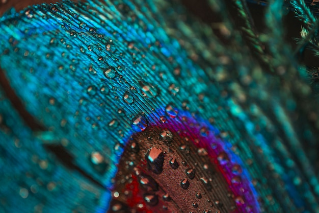 Marco completo de gotas de agua sobre la colorida pluma de pavo real