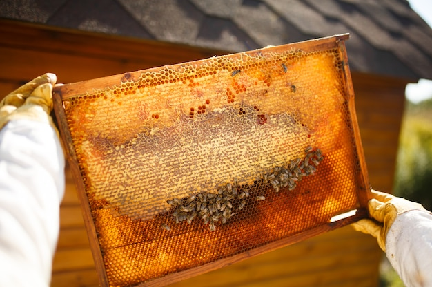 Marco de madera del asimiento femenino joven del apicultor con el panal.