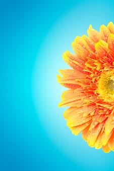La margarita amarilla del gerbera florece en azul con el camino de recortes.