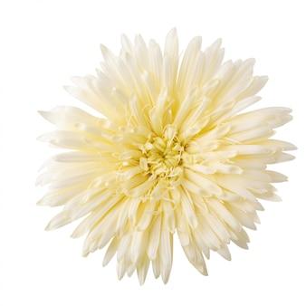 Margarita barberton, gerbera margarita flor aislada