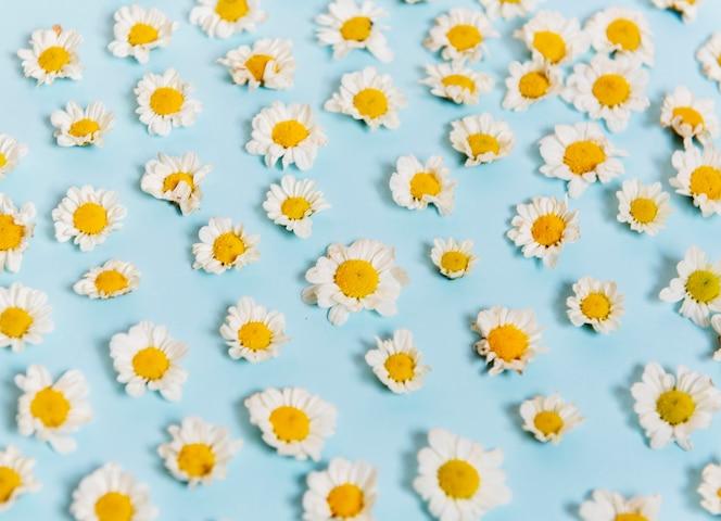Margarita blanca flores sobre fondo azul