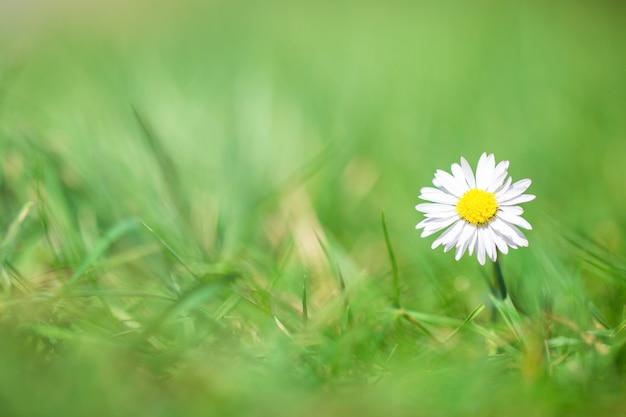Margarita blanca en hierba verde con pared borrosa, hermosa pared de primavera brillante con luz solar, concepto de naturaleza