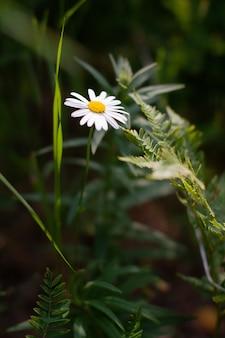 En la margarita recibe un rayo de sol. pequeño campo de flores en el sol de la mañana del verano. fondo de naturaleza abstracta con flores silvestres. macro, enfoque selectivo.
