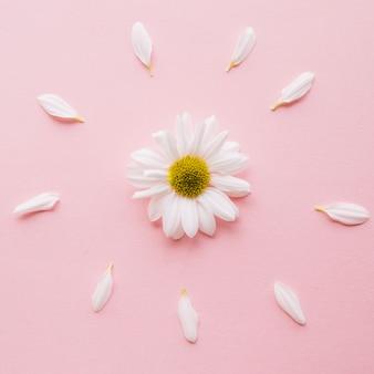 Margarita rodeada de pétalos sobre un fondo rosa claro