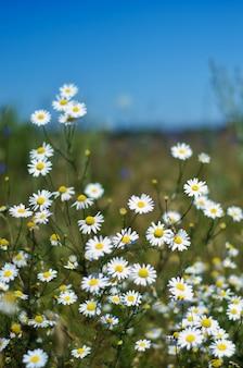 Margaritas blancas en un campo en un día soleado