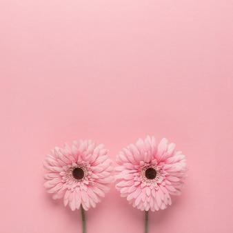 Margaritas rosas sobre rosa