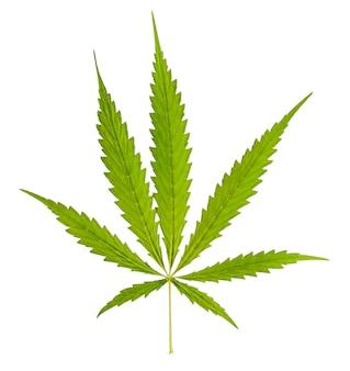Marihuana aislado sobre fondo blanco.