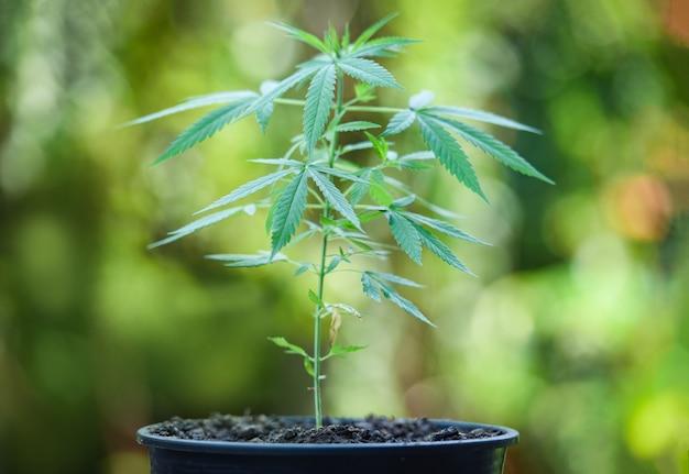 La marihuana deja el árbol de la planta de cannabis que crece en una olla sobre fondo verde de la naturaleza