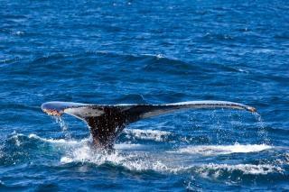 Marino ballena jorobada