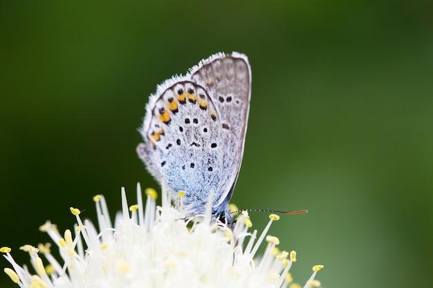 Mariposa azul, en una flor, insecto de primavera.