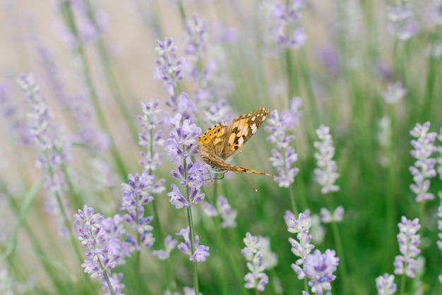 Una mariposa bebe néctar en una flor de lavanda en un campo de lavanda