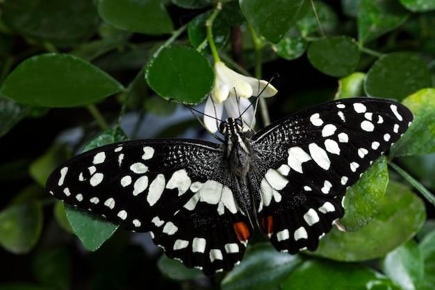 Mariposa blanca y negra con sus alas abiertas.