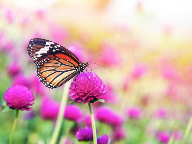 Mariposa en campos de flores de amaranto rosa.