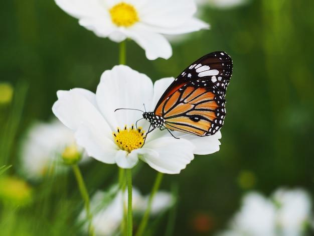 Mariposa en campos de flores blancos del cosmos.