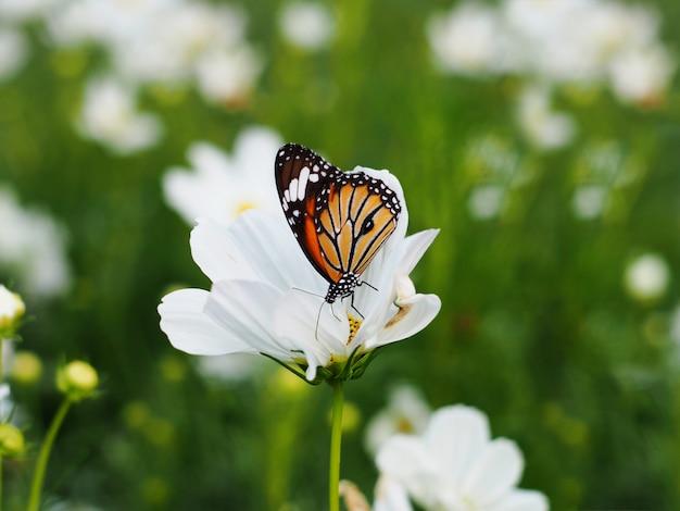Mariposa en los campos de flores blancos del cosmos.