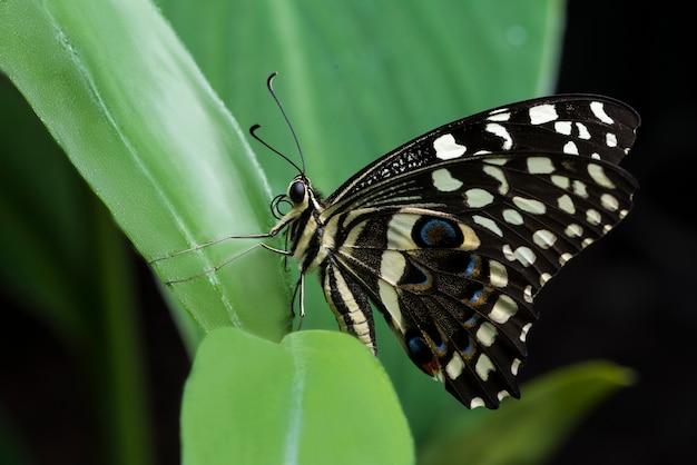 Mariposa castaña colocada en una hoja