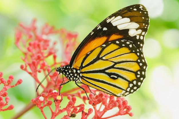 Mariposa chupando néctar de una flor roja