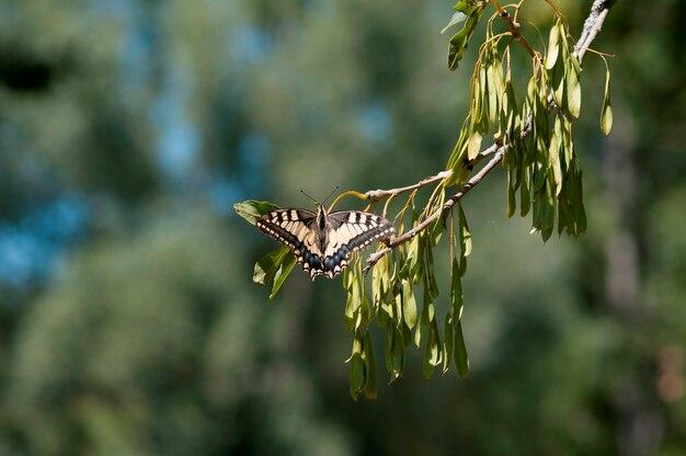 Mariposa cola de golondrina en una rama