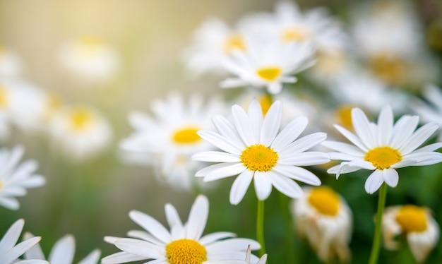 La mariposa de color amarillo anaranjado está en las flores blancas rosadas en los campos de hierba verde