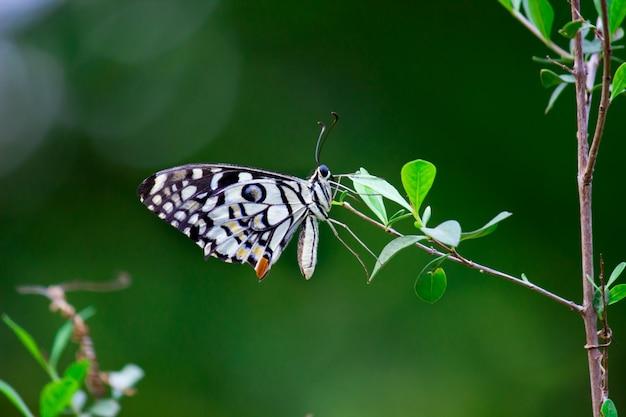 La mariposa común de la cal