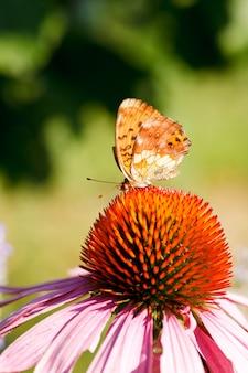 Mariposa en flor de equinacea