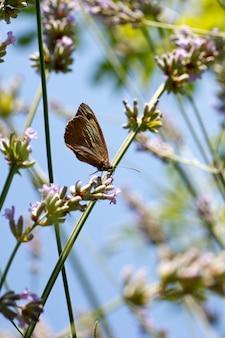 Mariposa en flores de lavanda