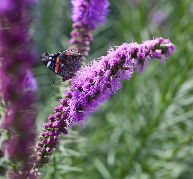 Mariposa en flores moradas