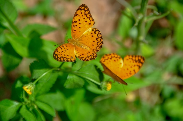 Mariposa fritillary abierta alada