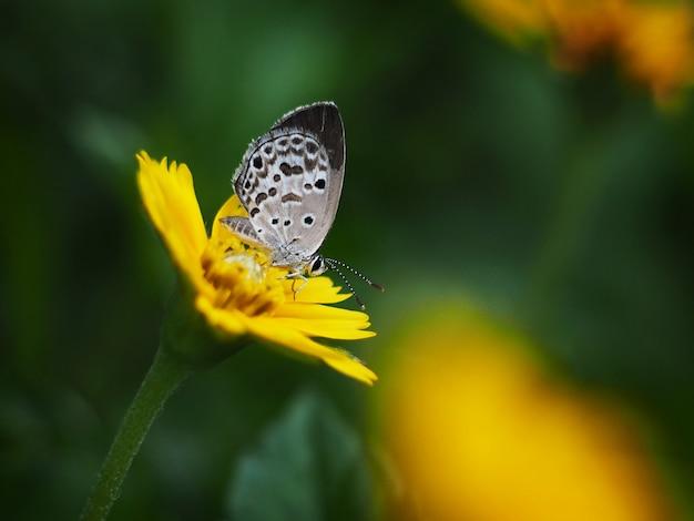 Mariposa gris en campos de flores amarillas.