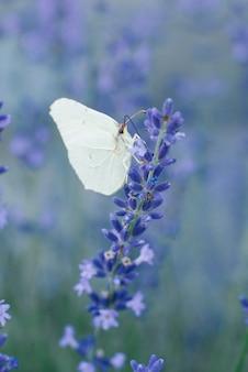 La mariposa de la hierba de limón se sienta en una flor de lavanda y bebe néctar de una flor en un campo