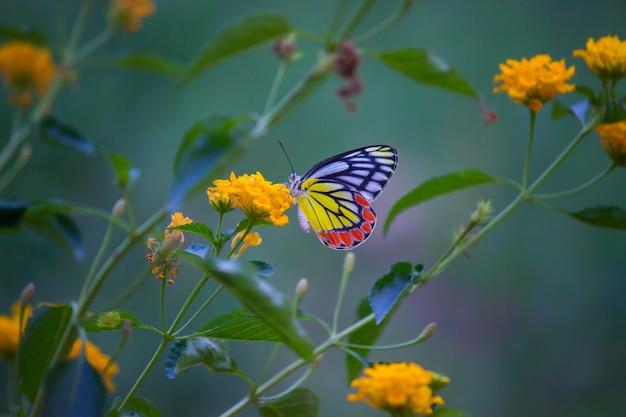 Mariposa india de jezebel