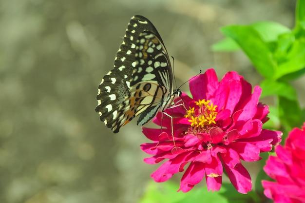 Mariposa en jardín y volando en flores