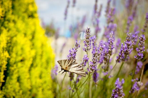 Mariposa en lavender bush. primer plano tonificado
