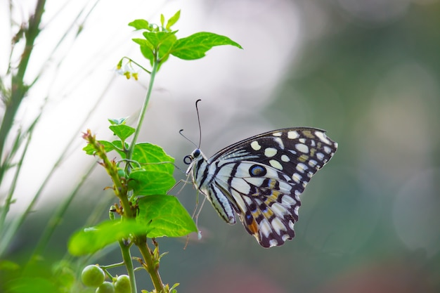 Mariposa de lima común