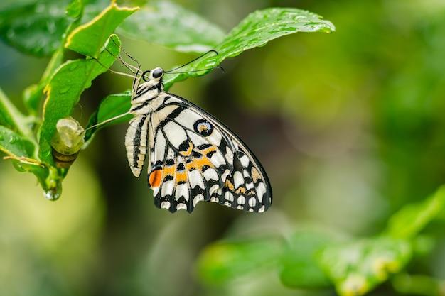 Mariposa de lima fuera del capullo