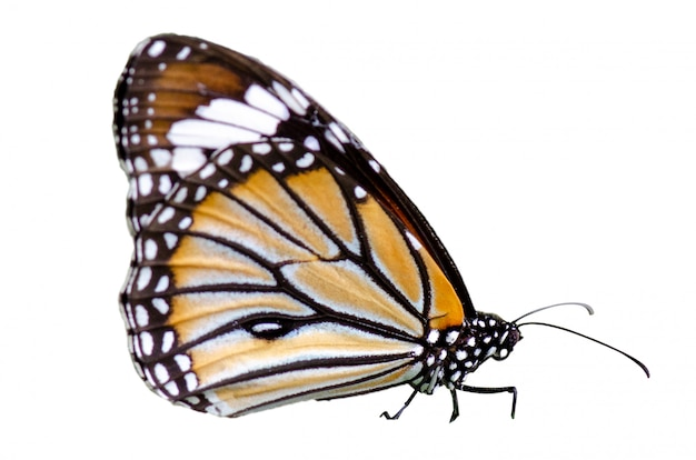 Mariposa manchas naranja amarillo fondo blanco aislar