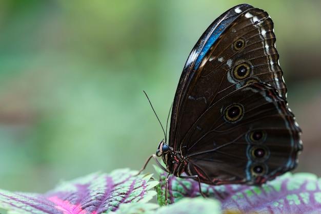 Mariposa marrón y azul en hojas de colores