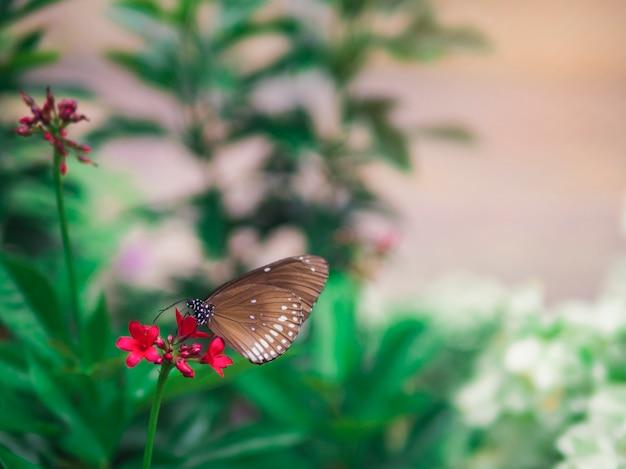 Mariposa marrón manchado cuervo negro (euploea crameri bremeri) en flor roja con fondo de jardín verde