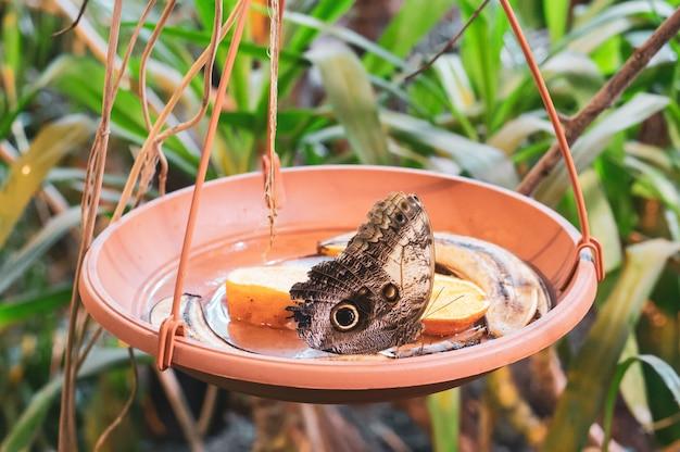 Mariposa marrón en una olla con rodajas de naranja y cáscaras de plátano
