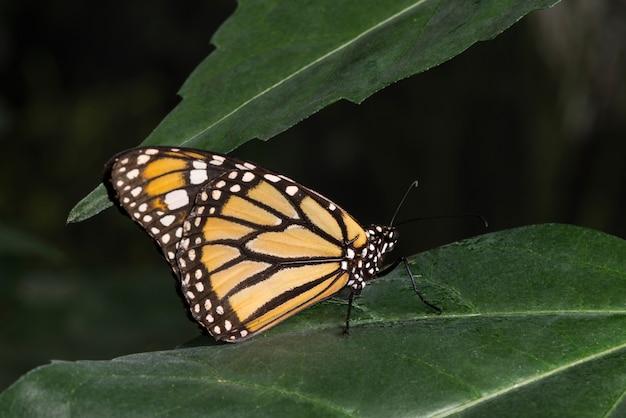 Mariposa monarca en hábitat tropical