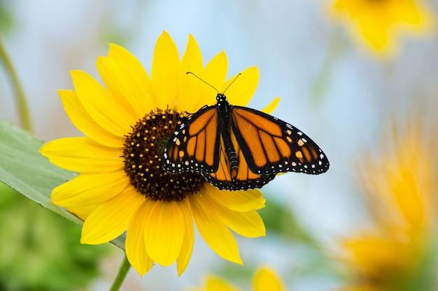 Mariposa monarca y hermoso girasol
