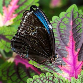 Mariposa morfo azul vista lateral
