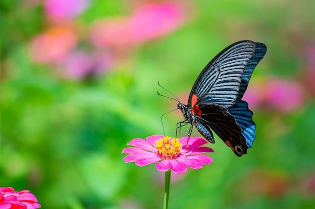 Mariposa negra en colores brillantes del zinnia rosado en jardín.