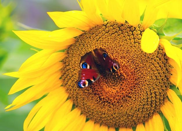 La mariposa del ojo del pavo real que se sienta en la flor de un girasol.