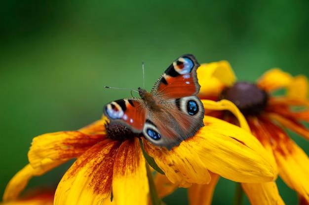 Mariposa ojo de pavo real, sentado en la flor rudbeckie