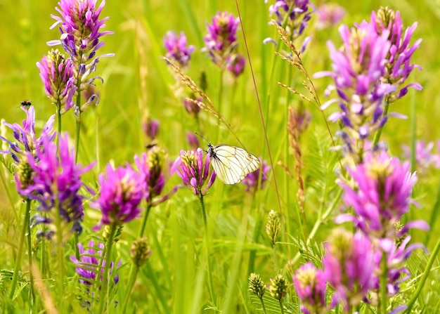 Mariposa de repollo sentado en un campo de flores de color rosa brillante en una densa hierba verde