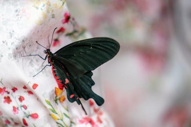 Mariposa rosa rosa pachliopta kotzebuea en edimburgh butterfly e insect world. foco seleccionado.